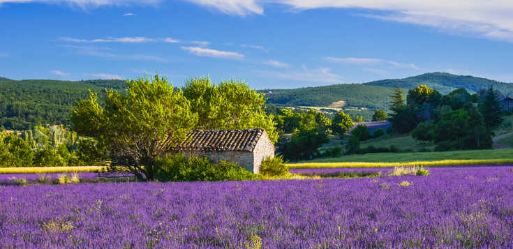 Lavendelblüte in der Haute-Provence