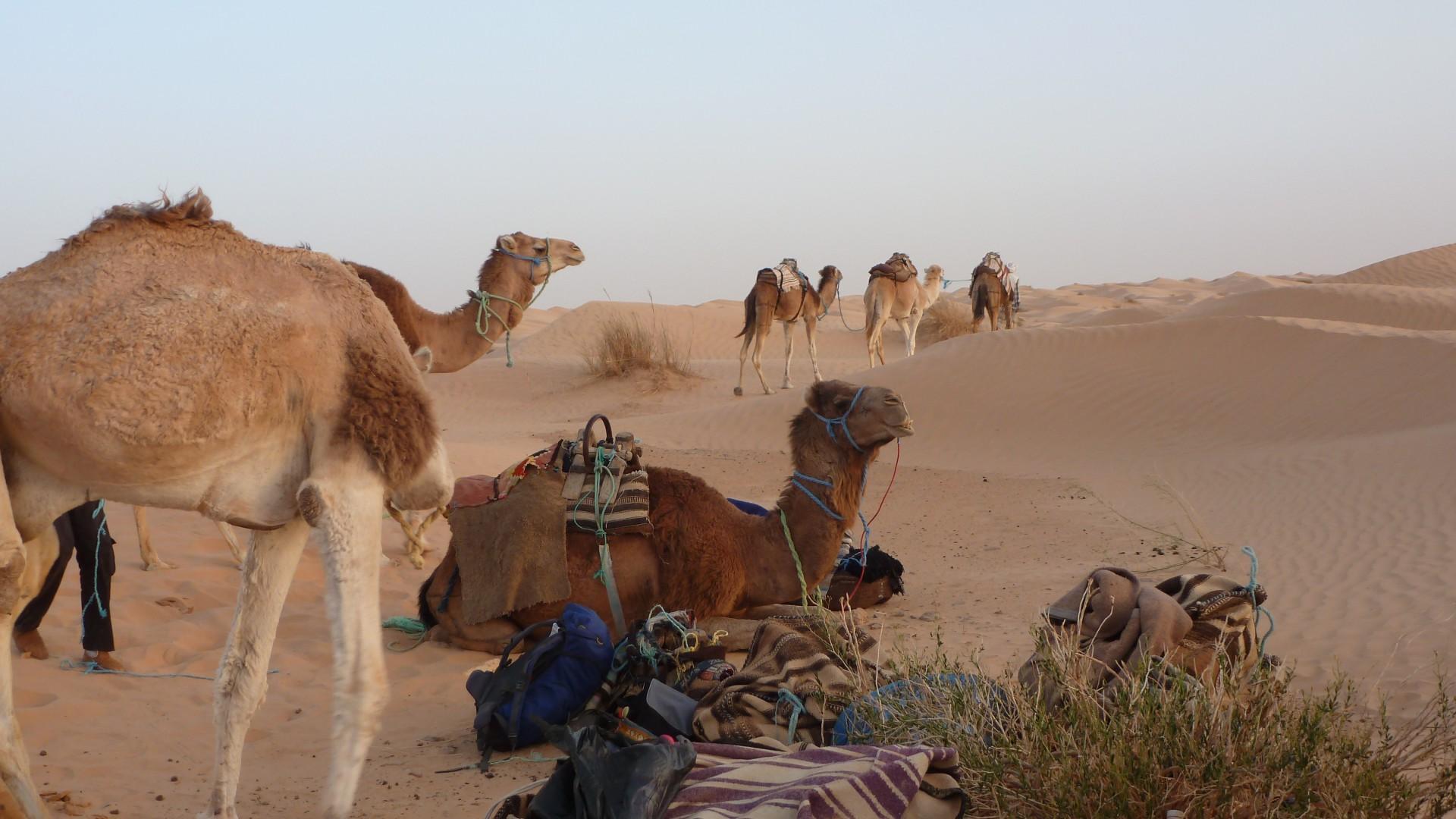 erstes Kamel-Treffen
