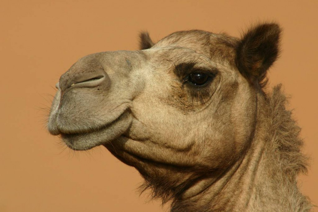 Kamel in Jordanien