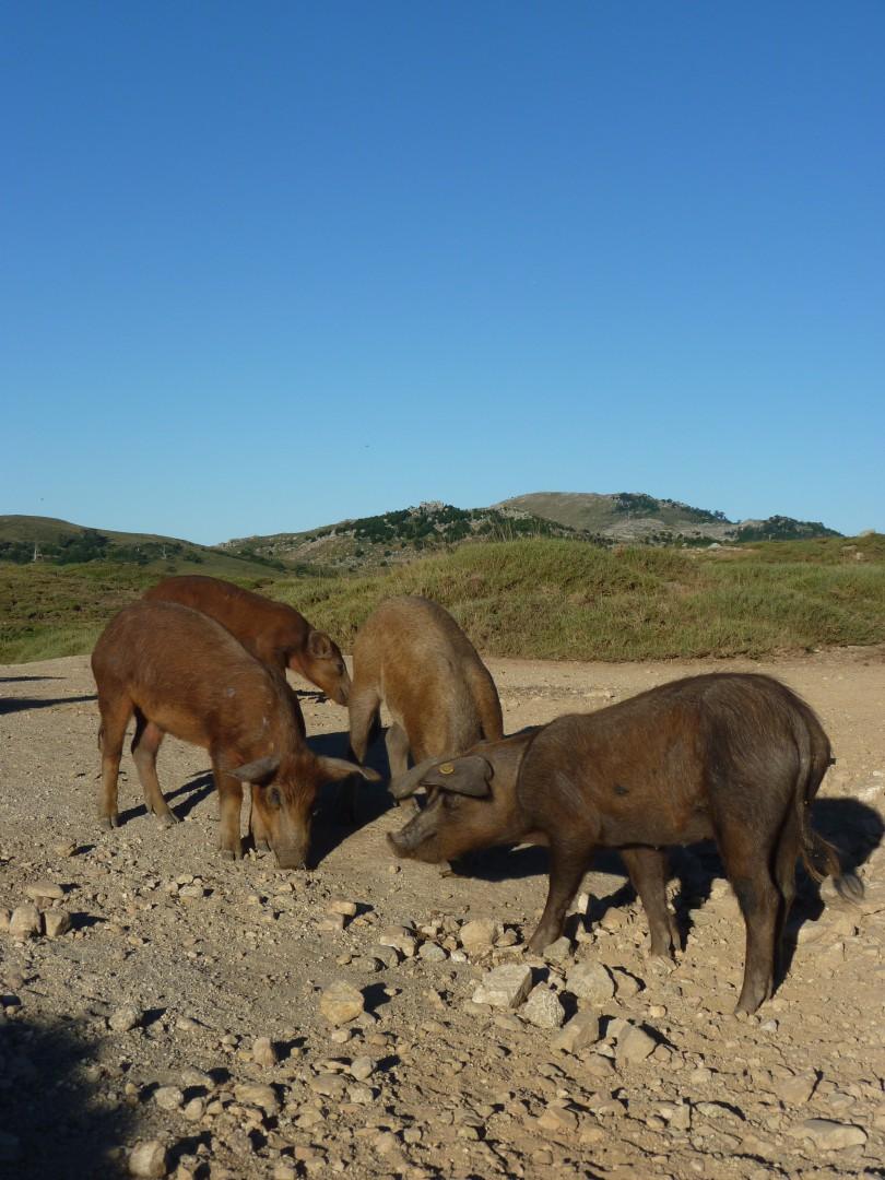 Korsiche Schweine