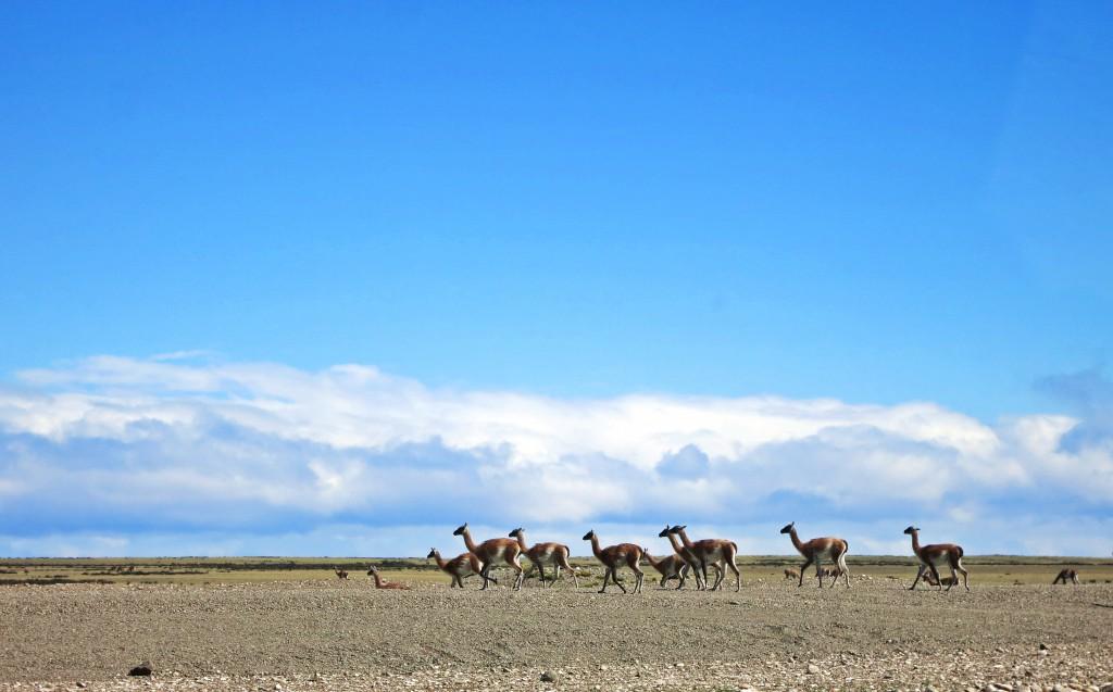 Guanacoherde in der patagonischen Pampa.