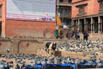 So viele Tauben - und freilaufende Kühe