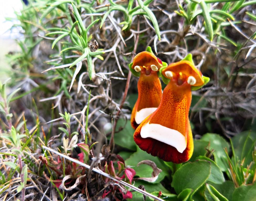 Blumenpracht im kargen Patagonien