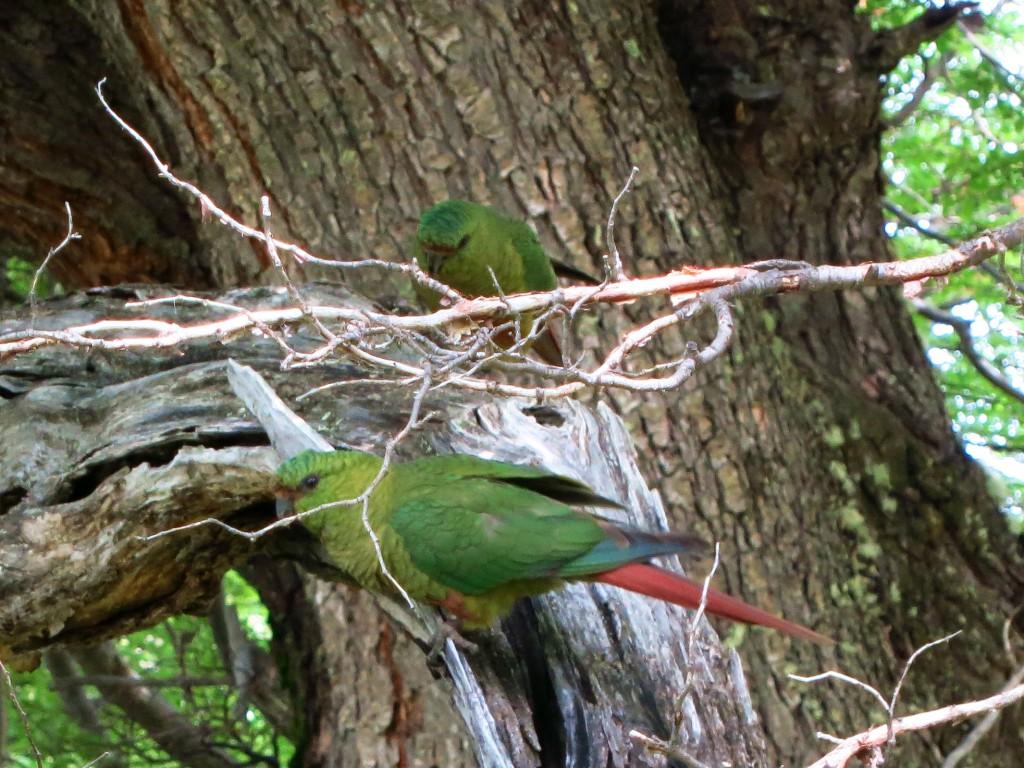 Bunte Papageien leben in Scharen in den Lengawäldern.