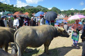 Büffelhandel auf dem Sonntagsmarkt Bac ha