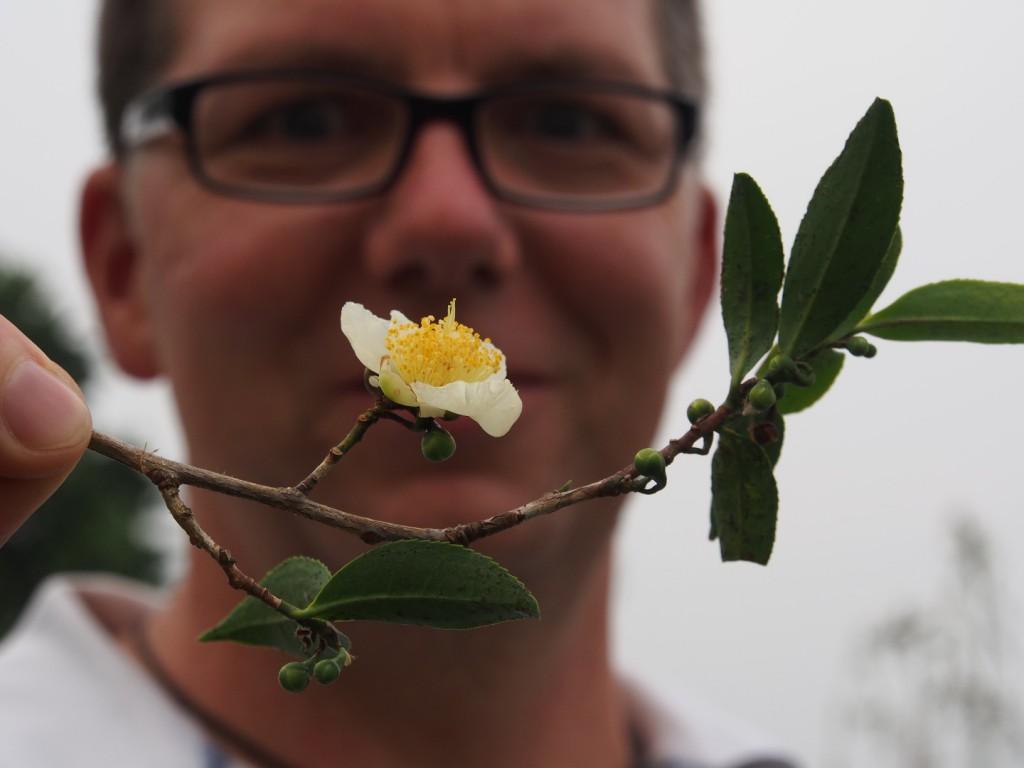 Mit etwas Glück finden wir auch einen Teestrauch mit einer Blüte. (Foto: Tobias Riegel)