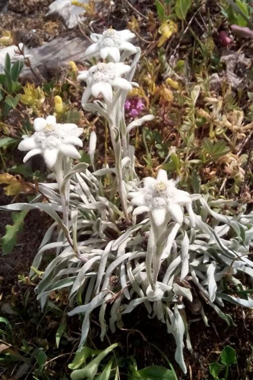 Edelweiss_blogg