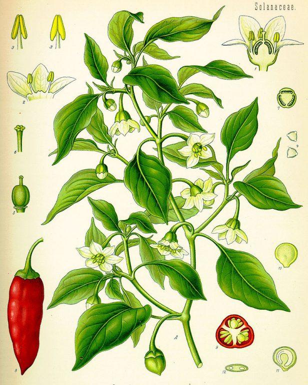 Capsicumannuum - Köhler's Medizinal-Pflanzen in naturgetreuen Abbildungen mit kurz erläuterndem Texte. (1887)
