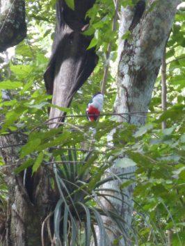 Tocororo in Kuba