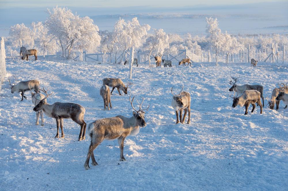 Rentiere mit Winterfell (Foto: Eila Kautto)