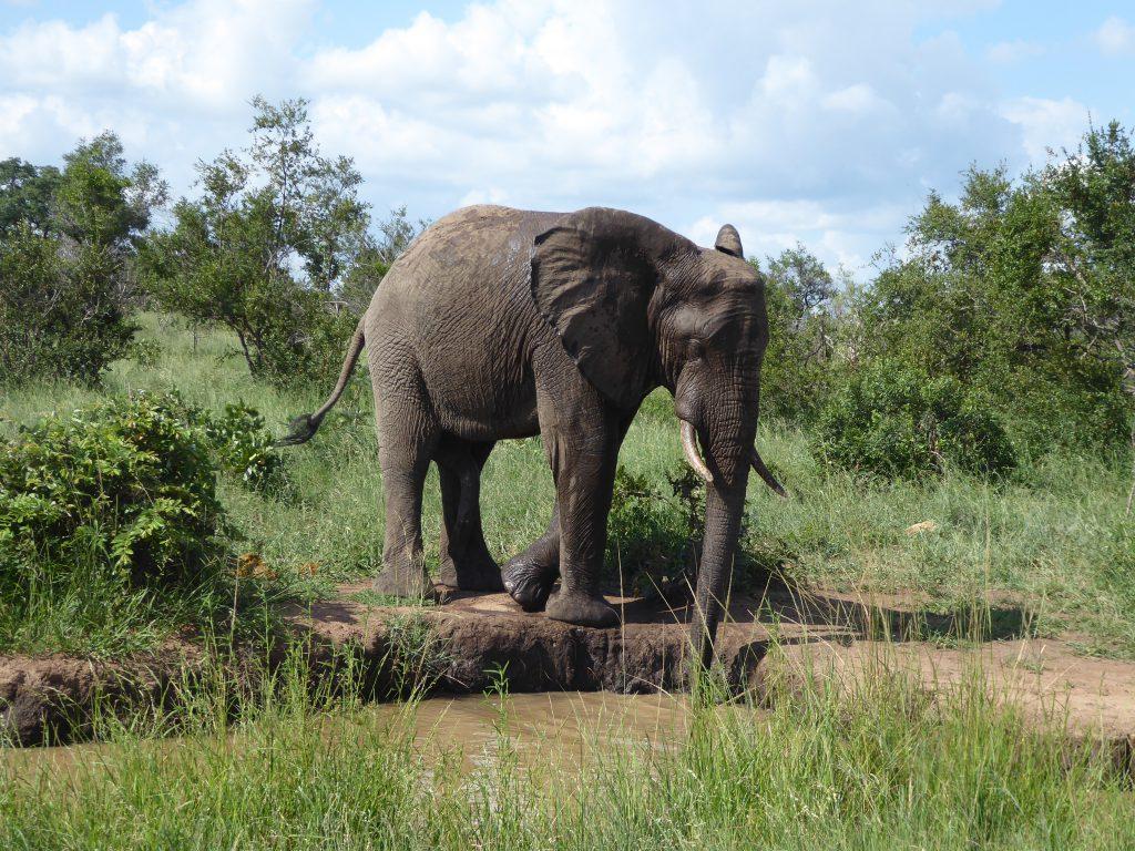 Elefant am Wasserloch im Krüger-Nationalpark