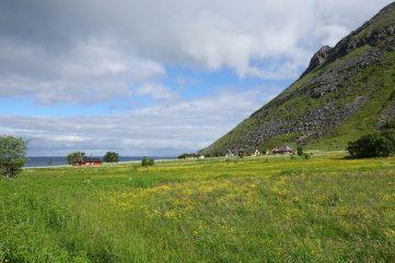 Blühende Landschaft auf den Lofoten
