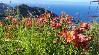 Blühende Landschaft an der Levada dos Tornos