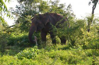 Elefant im Udawalawe-Nationalpark