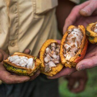 Öffnen der Kakaoschoten