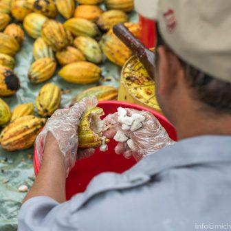 Herausholen der Kakaobohnen