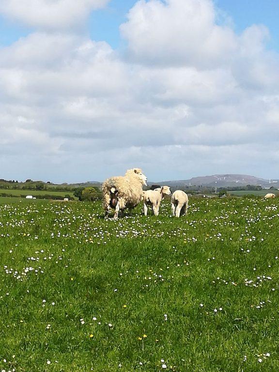 Schafe in cornischer Landschaft