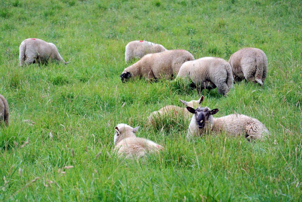 Landschaftsbild in Irland: Schafe, Schafe, Schafe