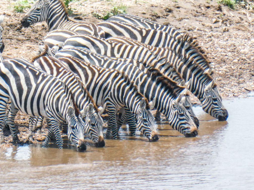 Zebras vor der Migration von Kenia nach Tansania