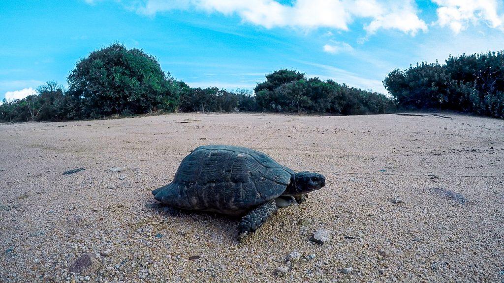 Schildkröte auf La Maddalena