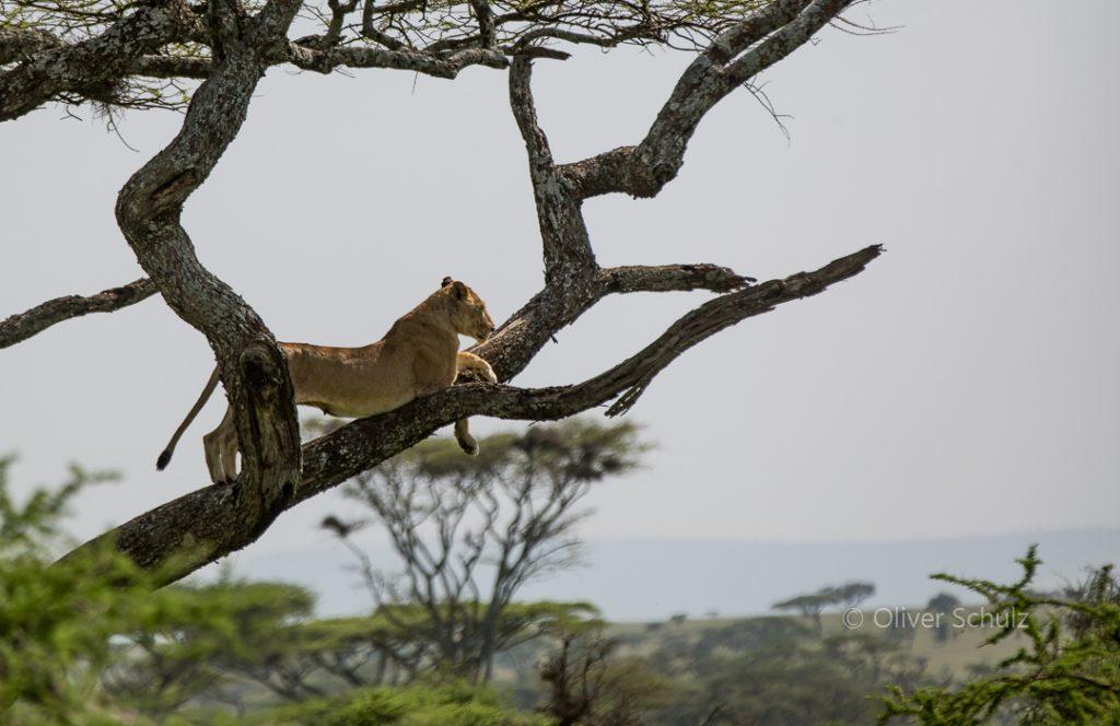 Kein Baumgnu, sondern ein Baumlöwe, in der Serengeti von Tansania