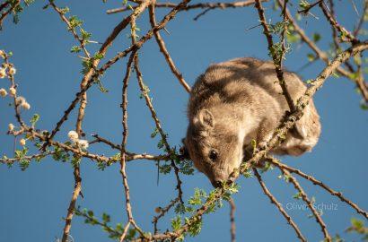 (K)ein Scherz: Das Baumgmu, In Wirklichkeit ein Baumschliefer