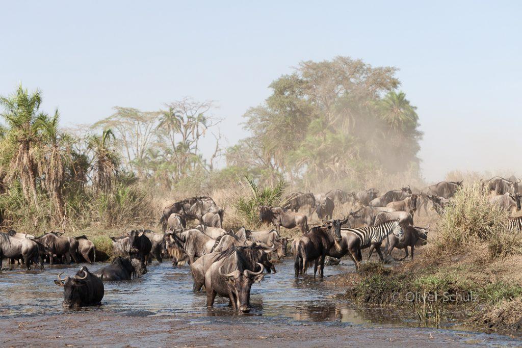 Des Löwens Lieblingsfutter, die armen Gnus  in der Serengeti