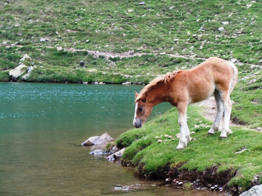 Frei lebendes Pferd in der Bergwelt von Andorra