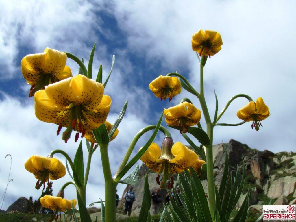 Gelber Türkenbund in der Bergwelt von Andorra