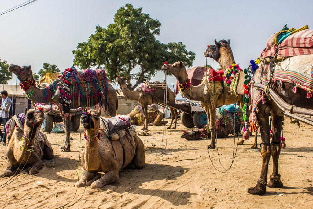 Kamelmarkt Pushkar-Mela
