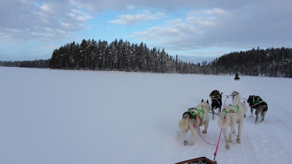 Auf dem Hundeschlitten durch Schwedisch Lappland!