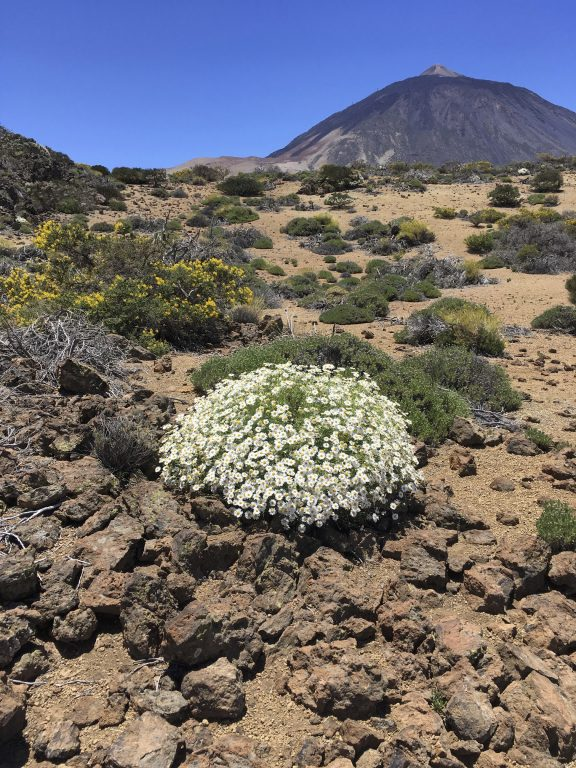 Blütenpracht am Teide
