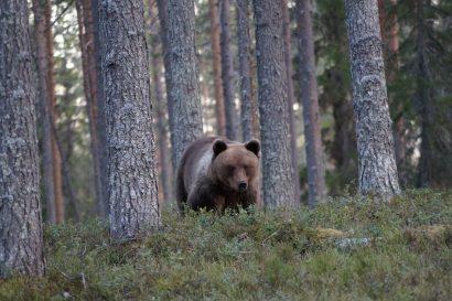 Karelien-Erlebnis: Allein unter Braunbären