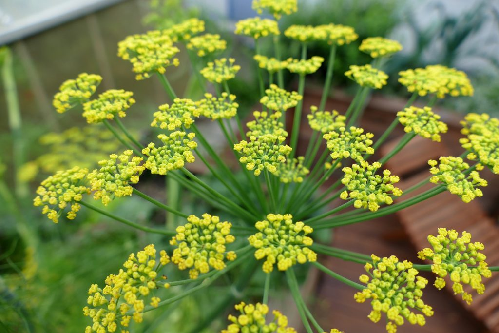 Fenchel-Pflanze