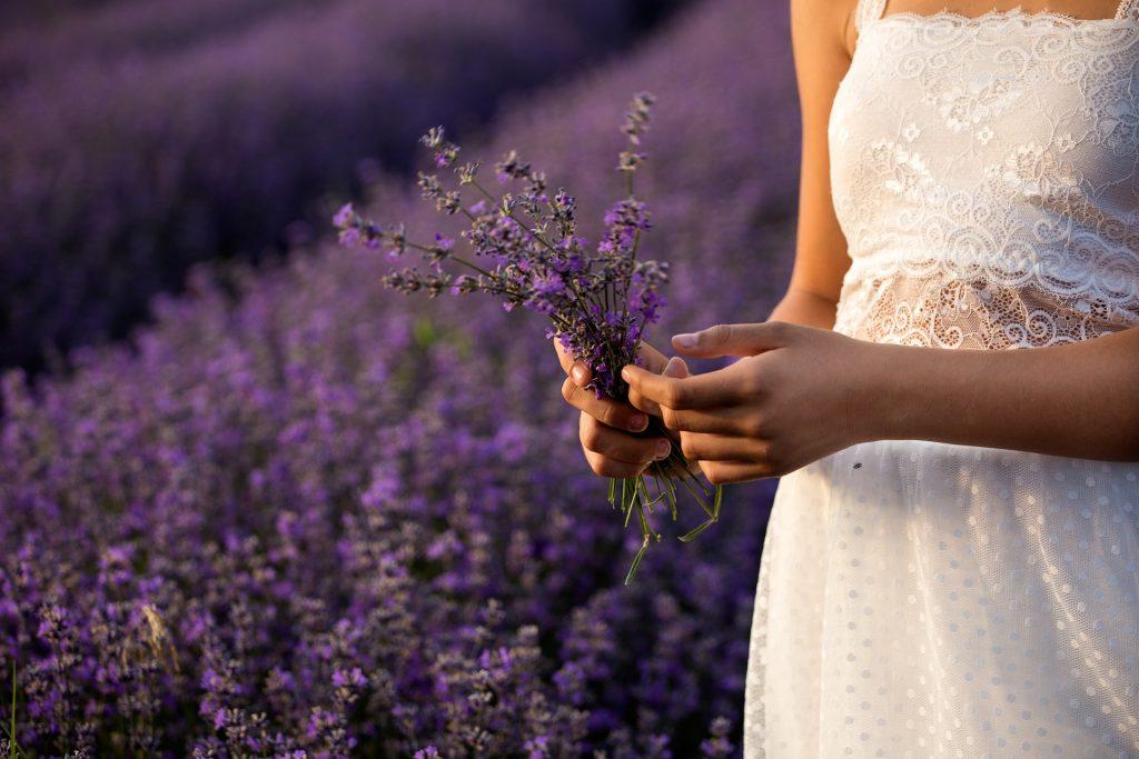 Lavendel ernten