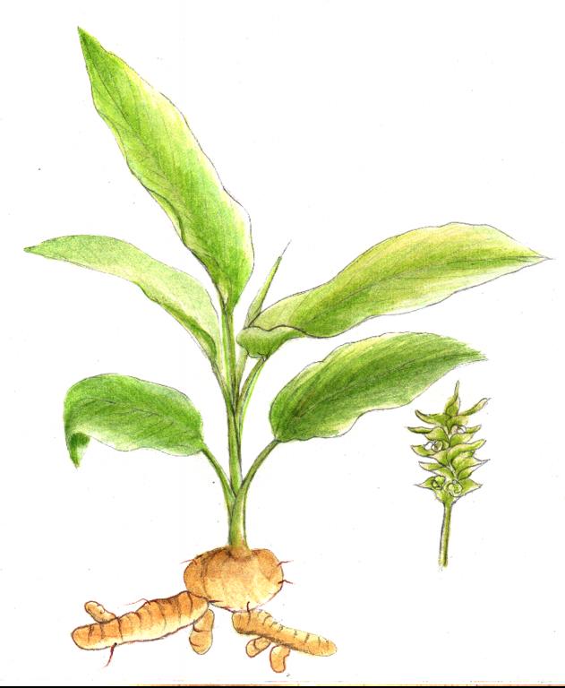 Kurkuma Pflanze Zeichnung