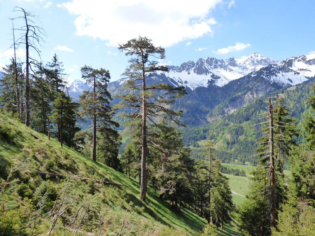 Lichte Bergwälder im Allgäu geben den Blick frei.