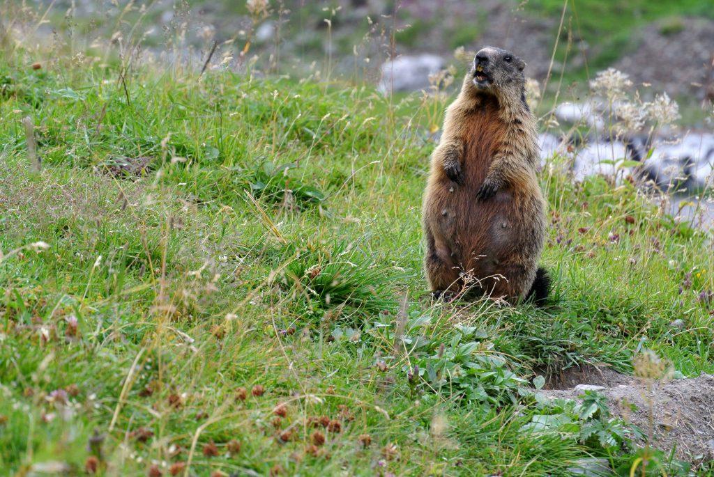 Beim Alpentrekking gesichtet: das Murmeltier