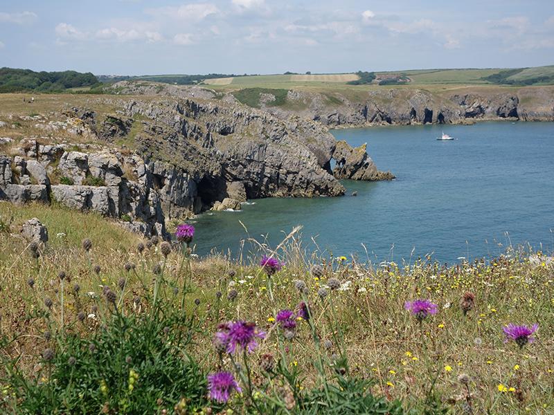 Blumen am Pembrokeshire Coast Path an der Walisischen Küste