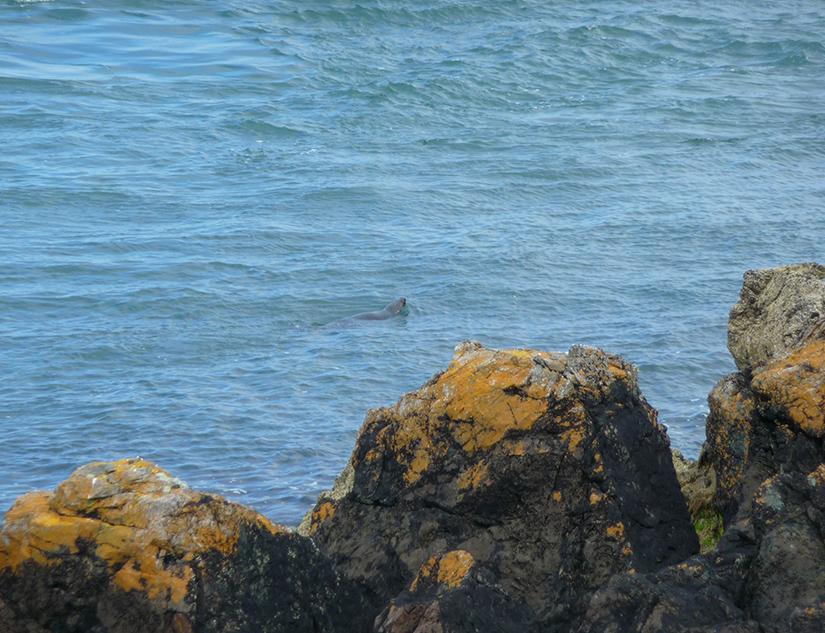 Vorbei schwimmende Robbe