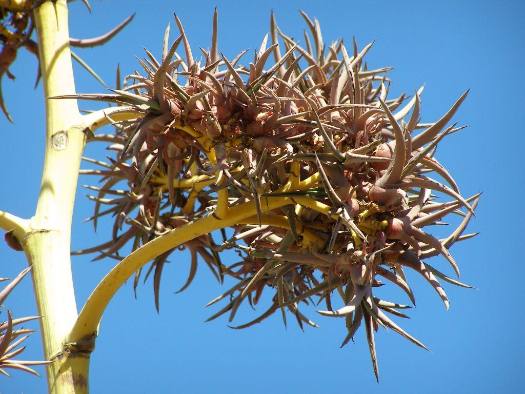 Agavenblüte: Hier wachsen komplette neue Pflanzen.