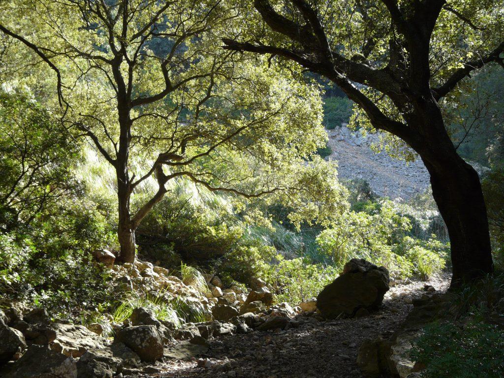 Steineichenwälder bedeckten einst die gesamte Mittelmeerregion