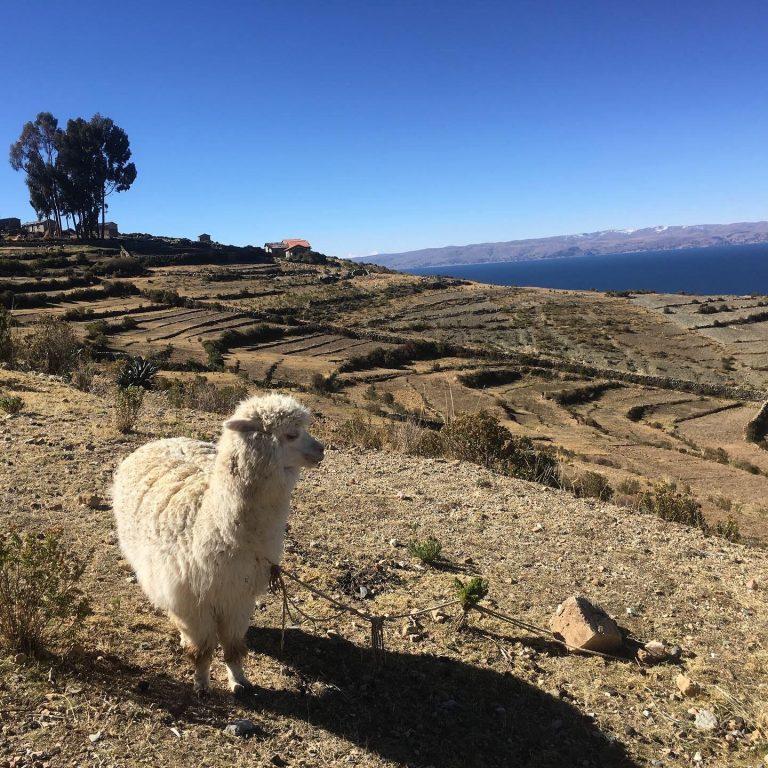 Lama am Titicaca-See