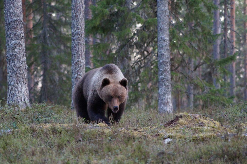 Nordeuropas Schätze: Braunbär in Karelien
