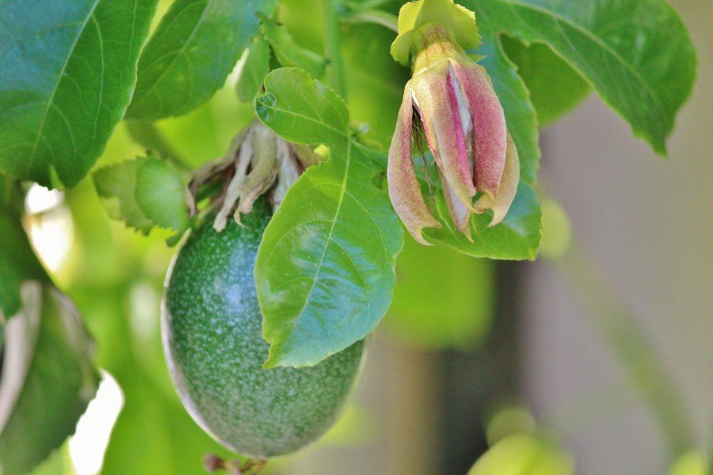 Maracuja-Pflanze